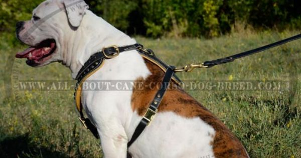 Leather King Dog Harness For Bulldog Exclusive Design Brass Studded