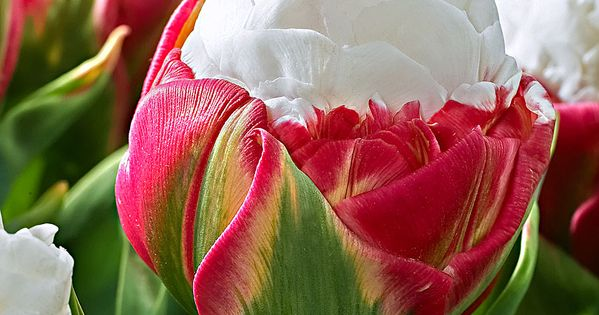 Choose-Diy: Beautiful Flowers Ice CreamTulip:)