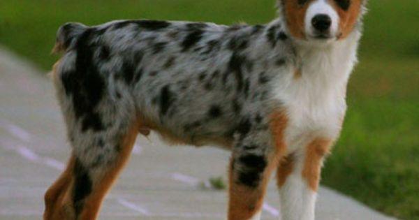 Back Home Dog Australian Shepherd Macon Ga United States