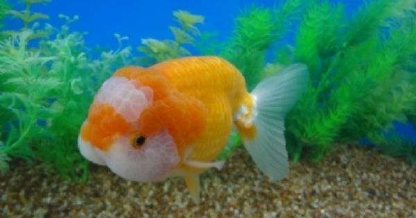 Orange and white chubby face ranchu fancy goldfish for Freshwater pond fish