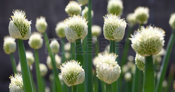 Scallion Flower Green Onion Head Blooming At Field Stock Photo Onion Flower Planting Onions Flowers