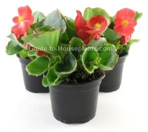Wax Begonia Care Tips Pictures Discover How To Grow Begonia Houseplant Indoors Light Water Humidity And How To In 2020 Begonia Flower Pots Flowering House Plants