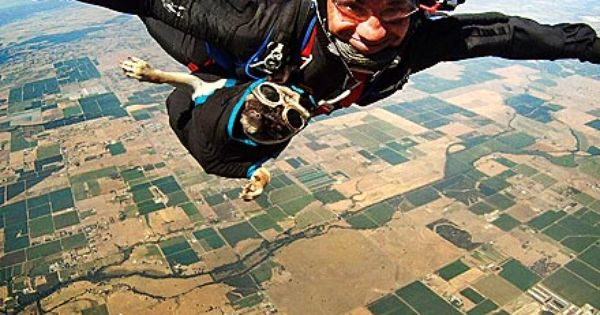 Skydiving Pug Is The New George H W Bush Inspirational Pets Dog Adventure Pugs