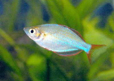 Dwarf Neon Rainbowfish Rainbow Fish Betta Aquarium Fish Breeding