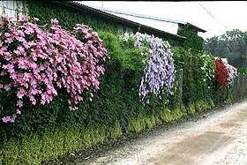Pin By Kate Bessette On Favorite Places Spaces Shade Plants Clematis Garden Vines