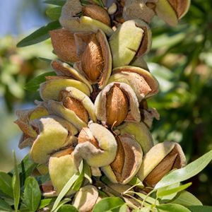 Almond Tree Images
