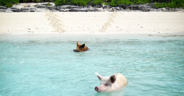 A beautiful tropical island where Wild Pigs swim in the crystal clear