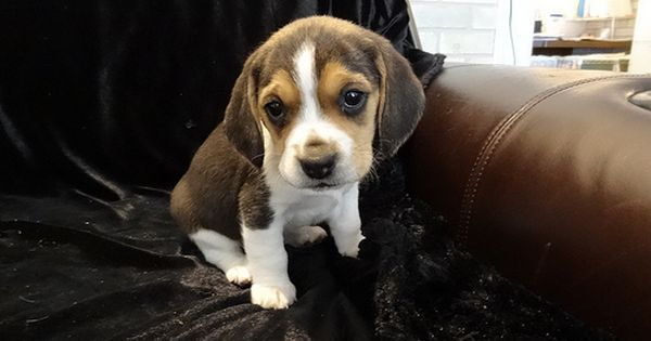 Beagles Mini Tiny Puppies For Sale Miniature Pocket Beagle