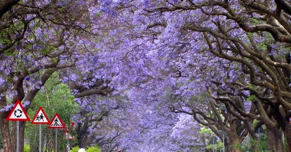 Jacaranda Trees in full bloom - South Africa