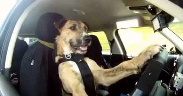Impresionante Perro Manejando Awesome Driving Dog Dog Meet Dogs I Love Dogs