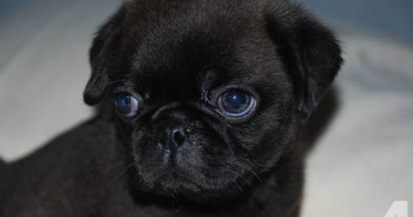 Rare Silver Black Male Akc Pug Puppy Black Pug Puppies Pugs