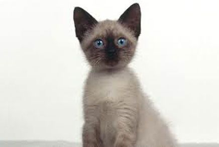 Siamese Kittens Google Search Siamese Kittens Siamese Cats Cat Breeds