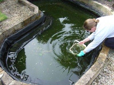 Cold Water Algae Eater Pond