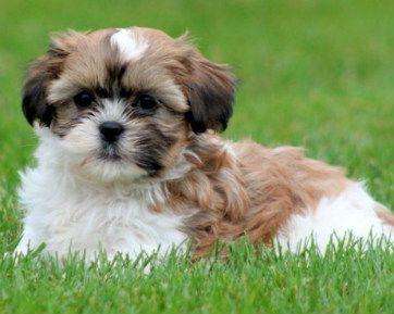 35 Amazing Shih Tzu Cross Breeds Dog Breeds Havanese Dogs Shih Tzu