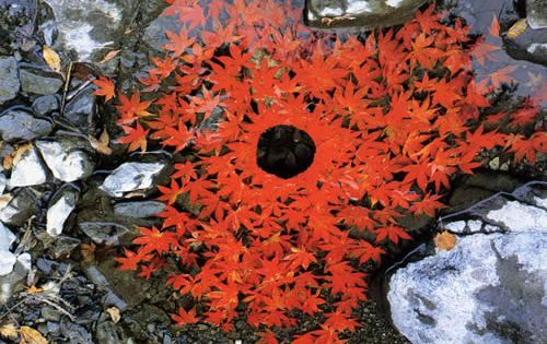 the temporary landart by Andy Goldsworthy: placing red leaves in water, creating