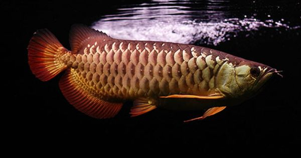 ปลาม งกร Arowana ปลาน ำจ ด ปลาสวยงาม ส ตว