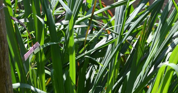 how to grow lemongrass from supermarket