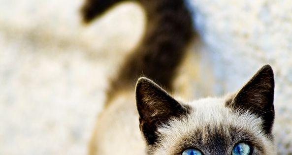 Siamese cat pretty eyes
