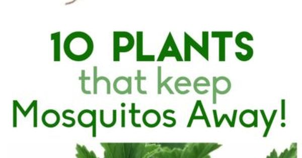 10 plants that keep the mosquitos away v xter insekter for Best plants to keep mosquitoes away