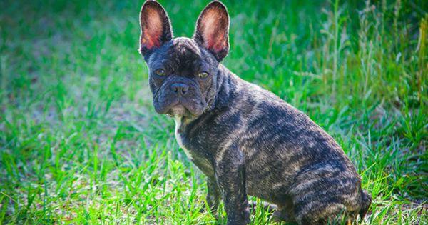 French Bulldog Puppy For Sale In Palm Coast Fl Adn 27816 On Puppyfinder Com Gender Male Age Bulldog Puppies For Sale Puppies For Sale French Bulldog Puppy