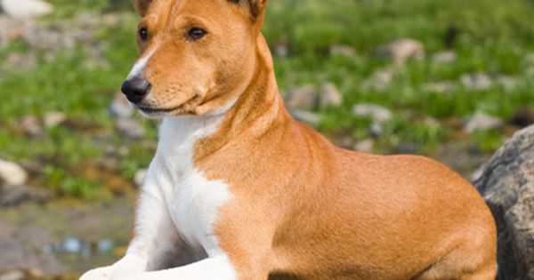Hypoallergenic Dog Breeds Bunkblog Unique Dog Breeds Dog Breeds Basenji Dogs
