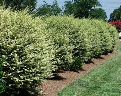 Fast Growing Shrub For Privacy Screens Garden Stuff
