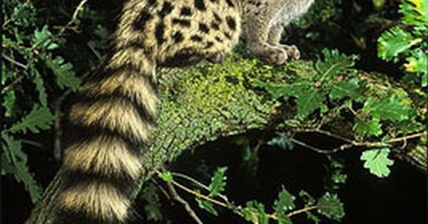 Genets are dispersed throughout Africa and are found across a variety of
