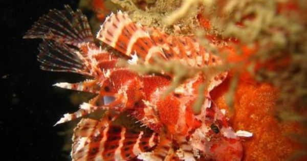 Keeping The Fuzzy Dwarf Lionfish Features Lion Fish Colorful Fish Fish