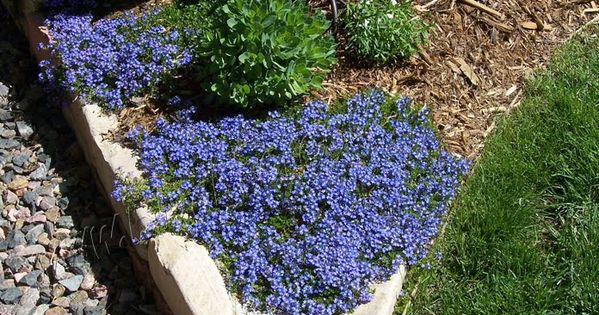 Turkish Speedwell Ground Cover Low Water High Altitude
