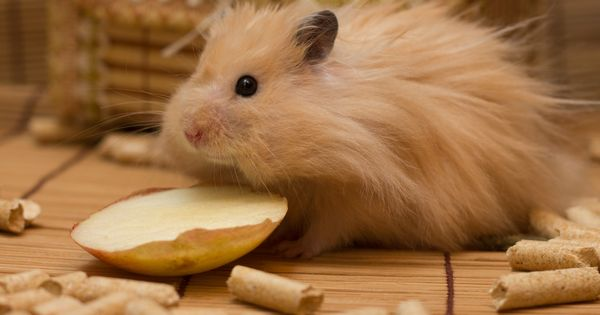 Funny By Diana Blaydes In 2020 Syrian Hamster Pets Animal