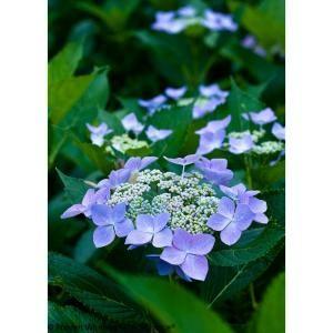 Proven Winners 1 Gal Let S Dance Starlight Bigleaf Hydrangea Macrophylla Live Shrub Blue Hydrangea Macrophylla Hydrangea Landscaping Reblooming Hydrangeas