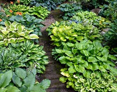 Garden Path Edging with Hostas -->Lining a rustic woodland path with mixed