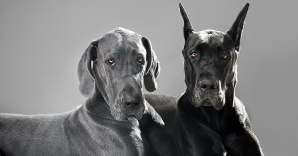Neither of these are my babies, but I will always own a ... Great Dane Ears