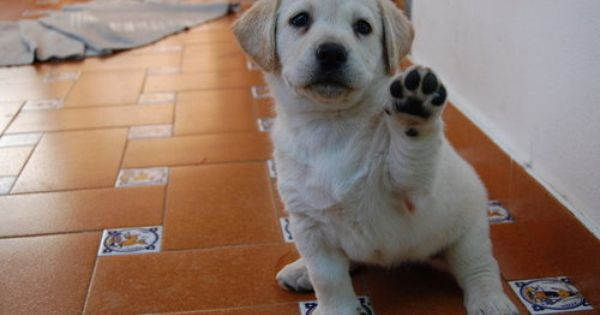 Paws Up Labrador Puppy Paws Yellow Lab Puppies
