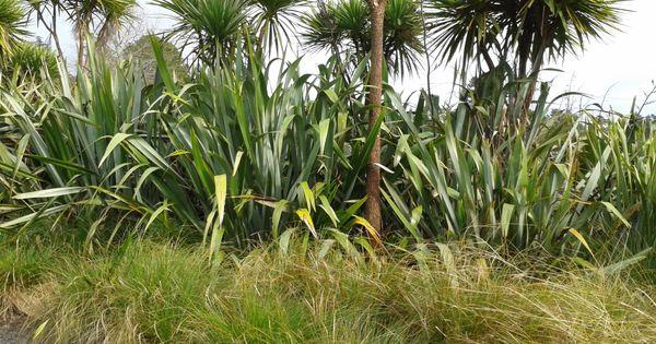 nz native plants lar pinterest plants gardens and. Black Bedroom Furniture Sets. Home Design Ideas