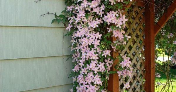 Climbing Clematis Pink Fantasy Summer Flowering