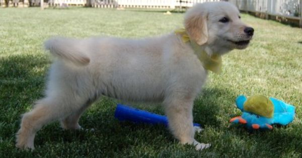Started Golden Retriever Puppies For Sale Golden Meadows Retrievers Retriever Puppy Puppies Golden Retriever