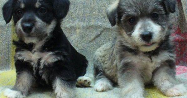 Kijiji Schnauzer X Bichon Puppies Bichon Puppies Animals