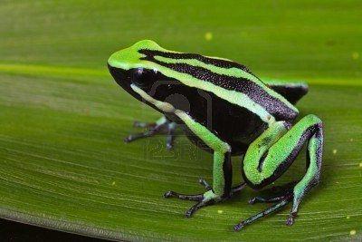 Poison Dart Frog Poison Dart Frogs Rainforest Animals Frog