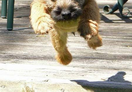 Border Terrier puppy. Baby Oscar!