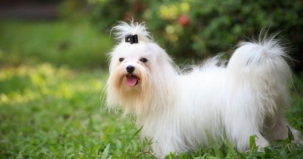 Dogs That Don T Shed Or Smell Dog Breeds That Don T Shed