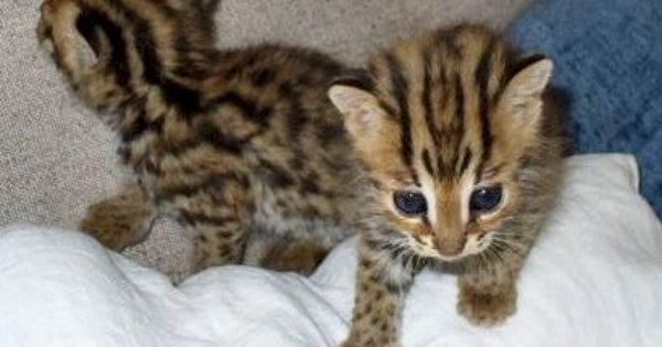 Here Is Where To Get Bengal Cats For Sale Male Bengal Cats