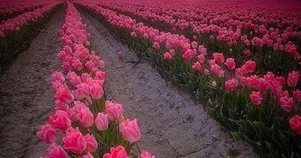 Holland Pink Tulip Fields, beautiful!