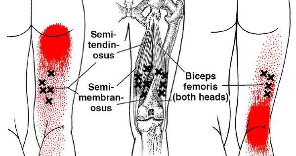 Biceps Femoris | The T...