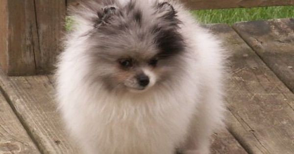 Blue Merle pomeranian Puppy Dog Puppies Hound Dogs Pom Pom