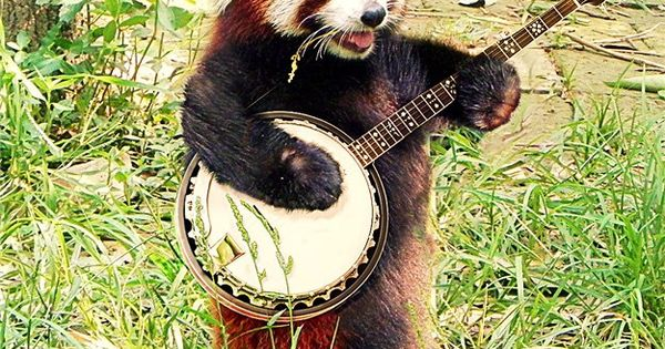 animals playing banjo - photo #17