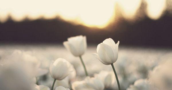white tulip blossoms...