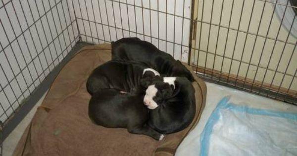 Pitbull Puppies For Sale 300 Pitbull Puppies For Sale Puppies