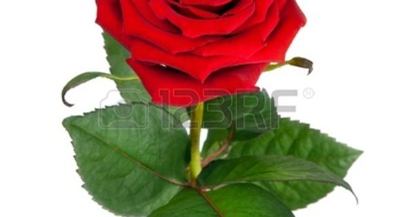 Stock Photo Single Red Rose Rose Flower Pictures Beautiful Red