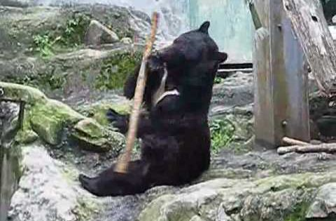 How cool is this: The REAL Kung Fu panda captured on video